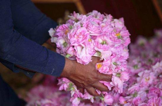 Rose de Taif