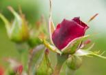 Rose Exaltante